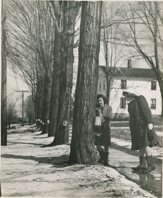 Students Getting Sap from Trees