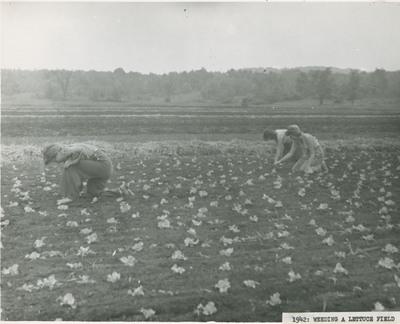 Weeding a Lettuce Field